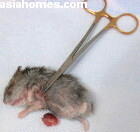 Singapore dwarf hamster 1.5 years old, breast tumour