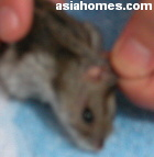 Ear pinnae wart  2x3mm - Dwarf Hamster Singapore