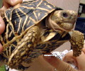 7-year-old star tortoise has lost appetite