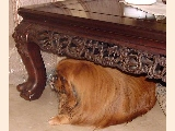 Big sized very protective of its mistress Pekinese from the USA.  Bites others when healthy.